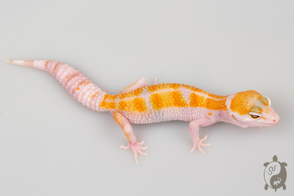 A116 - NCUE 2020 - ♀ - Eublepharis Macularius WY Candy Tremper