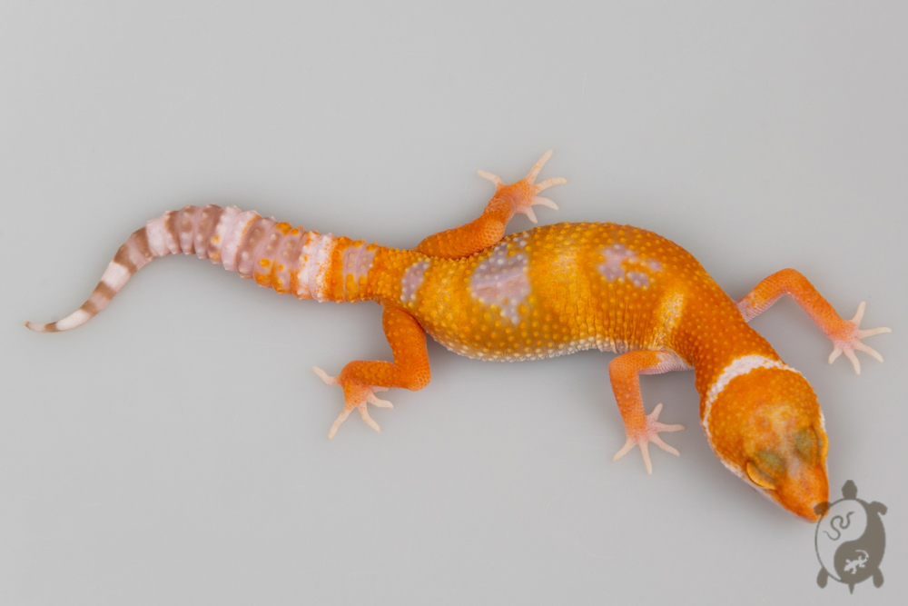 A117 - NCUE 2020 - ♀ - Eublepharis Macularius Amber Sunglow