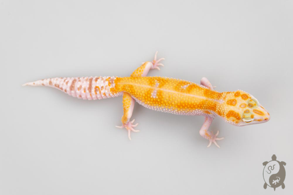 A040 - NCUE2020 - ♀ - Eublepharis Macularius Sunglow WY tangerine tremper