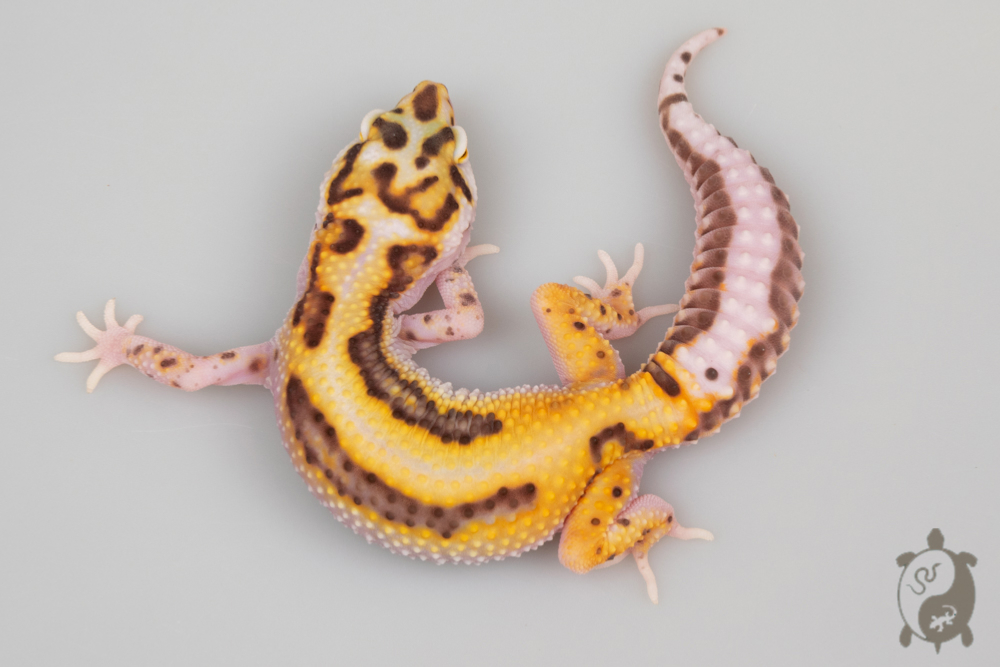 A112 - NCUE 2020 - ♀ - Eublepharis Macularius WY Bold Stripe Bell